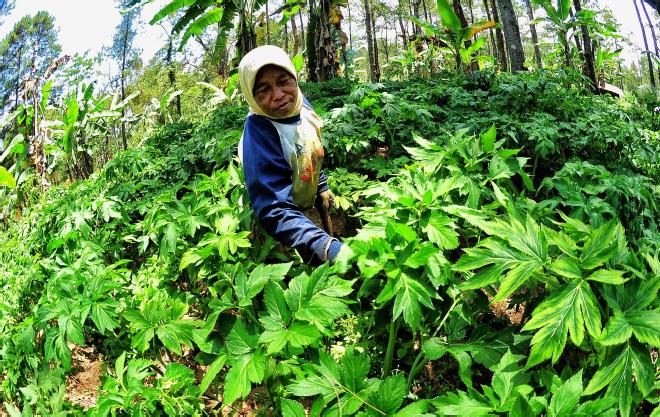 Peran Agroforestry dalam Meningkatkan Ketahanan Pangan