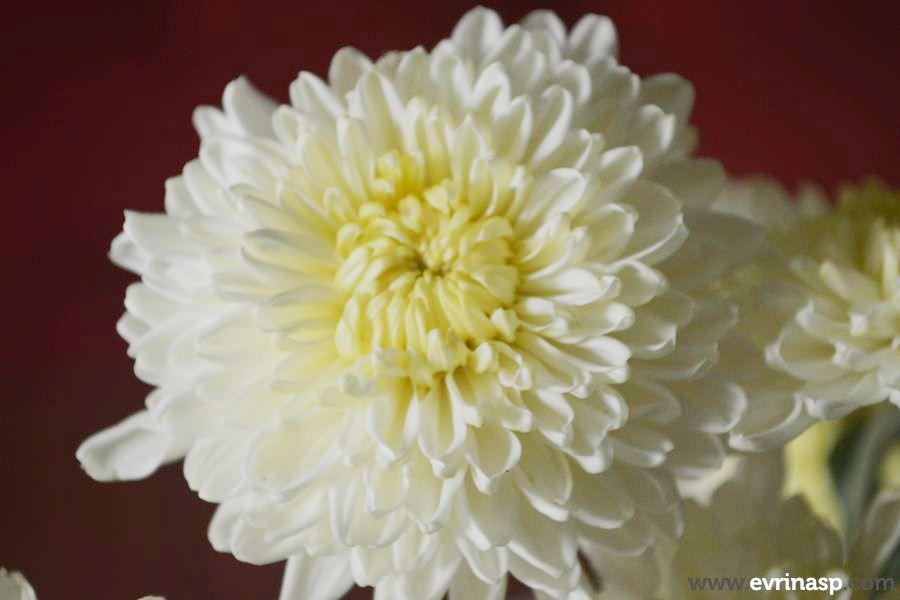 bunga-aster