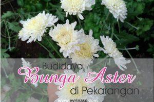Budidaya Bunga Aster di Pekarangan