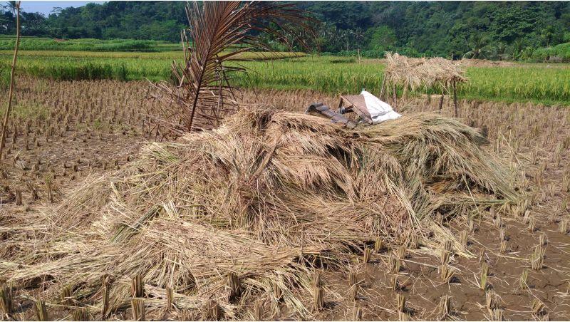 zero-waste-tanaman-padi -jerami