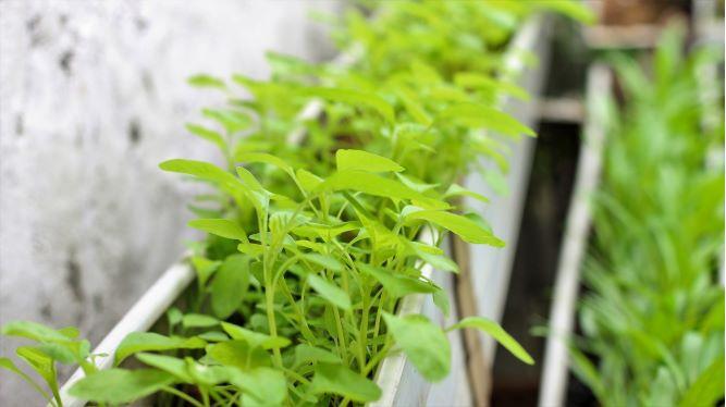 sayuran_hijau